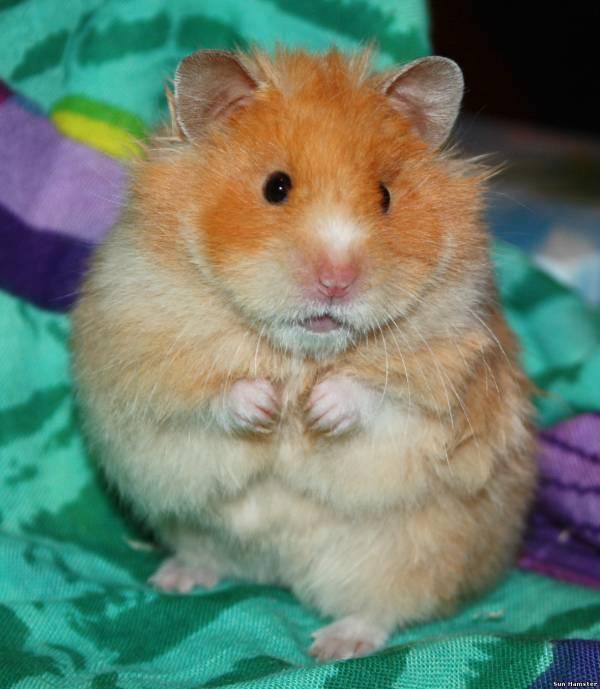 http://sun-hamster.ucoz.ru/_si/0/s01433174.jpg